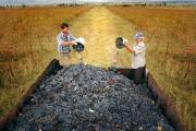 კახეთის რეგიონში 75 ათასამდე ტონა ყურძენია გადამუშავებული