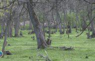 1200 ლარი კაკლის ხეების მოჭრის სანაცვლოდ: საგამოძიებო სამსახურმა ერთი პირი ამხილა